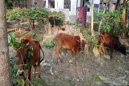 ঝিনাইদহের কালীগঞ্জে গরুর শিং এর আঘাতে কৃষক নিহত