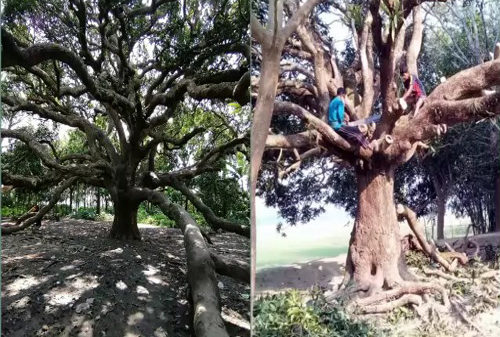 নিষ্ঠুর ভাবে কেটে ফেলা হল গোপালগঞ্জের বিখ্যাত শতবর্ষী আমগাছটি